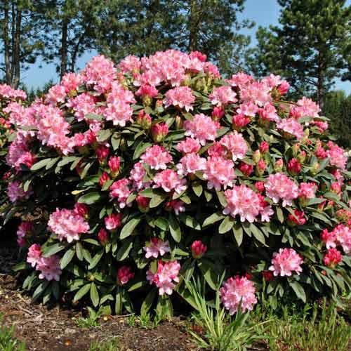 Rhododendron (Różanecznik) Fantasy interface.image 1 interface.art 9091