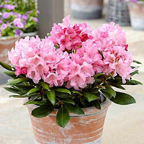 Rhododendron (Różanecznik) Hania