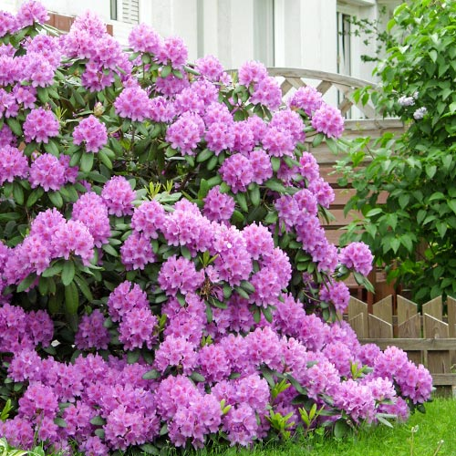 Rhododendron (Różanecznik) Roseum Elegans