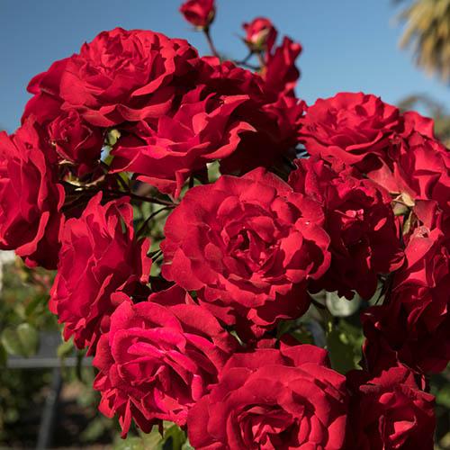 Róża bukietowa Europeana