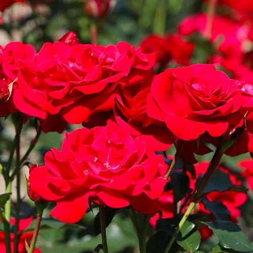 Róża bukietowa Nina