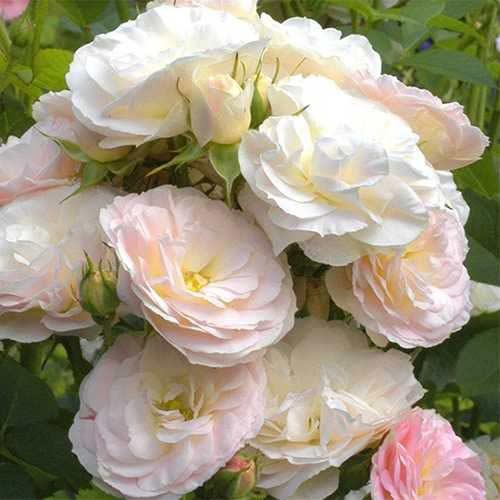 Róża bukietowa Part Flight