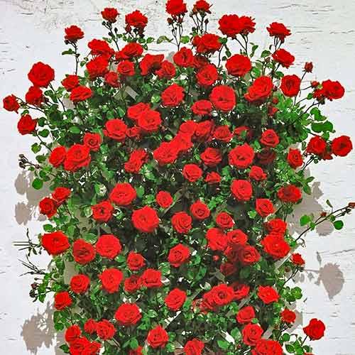 Róża pnąca Mushimara