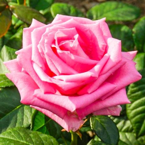 Róża wielkokwiatowa Belle Ange interface.image 1 interface.art 2104