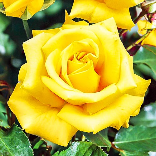 Róża wielkokwiatowa Casanova interface.image 1 interface.art 2120
