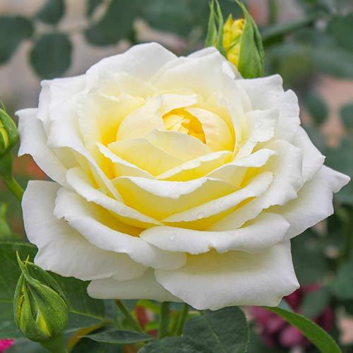 Róża wielkokwiatowa Chopin interface.image 1 interface.art 2142