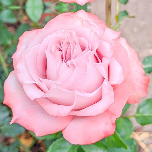 Róża wielkokwiatowa Lilu Wonder