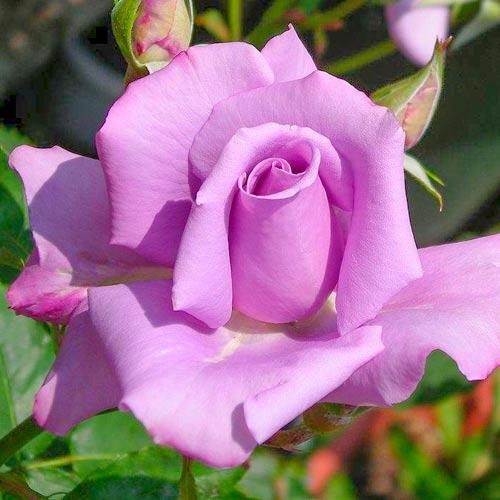 Róża wielkokwiatowa Niebiesko-Fioletowa interface.image 1 interface.art 2114