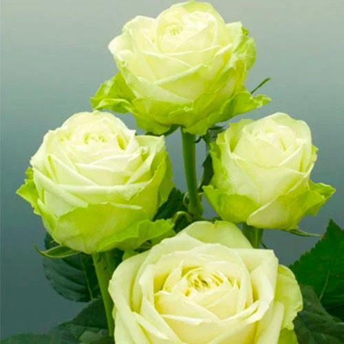 Róża wielkokwiatowa Zielona interface.image 1 interface.art 2118