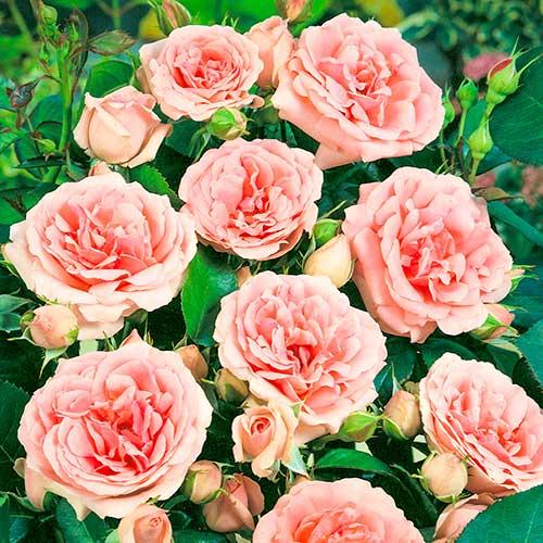 Róża bukietowa Kimono