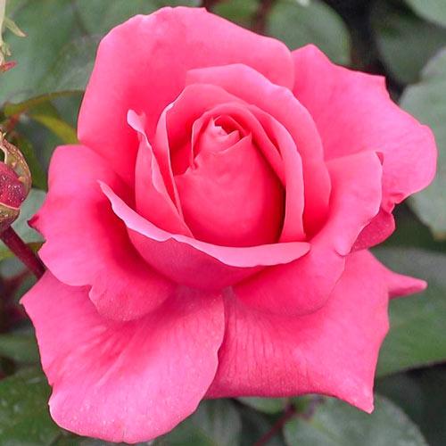 Róża wielkokwiatowa Criterion interface.image 1 interface.art 2265