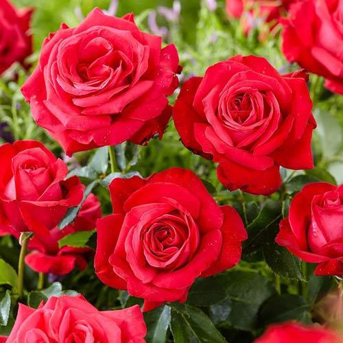 Róża wielkokwiatowa Dama de Coeur