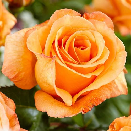 Róża wielkokwiatowa Doris Tysterman interface.image 1 interface.art 2270