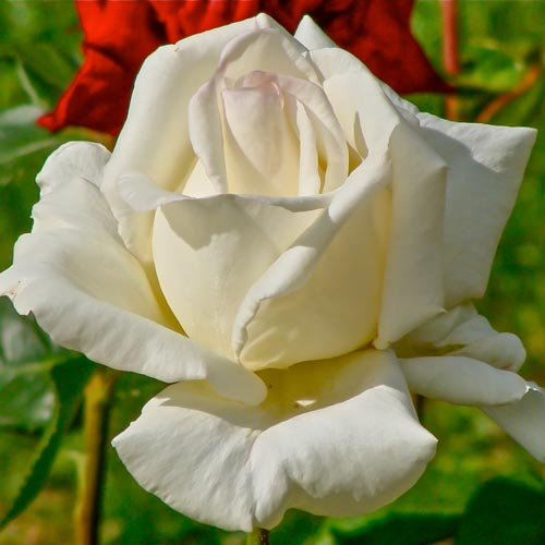 Róża wielkokwiatowa Mount Shasta interface.image 1 interface.art 2291