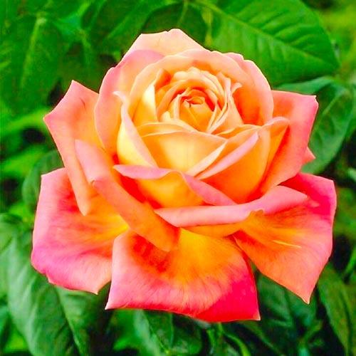 Róża wielkokwiatowa Peace interface.image 1 interface.art 2293