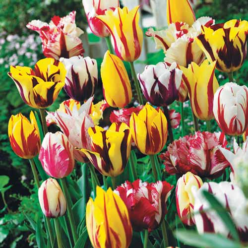 Super oferta! Tulipan Grace, zestaw 18 cebul interface.image 1 interface.art 67558