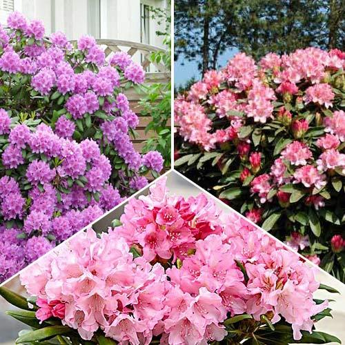 Super oferta! Zestaw Rhododendronów, 3 sadzonki interface.image 1 interface.art 9112