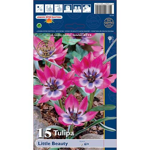 Tulipan botaniczny Little Beauty interface.image 1 interface.art 67499
