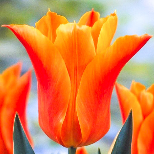 Tulipan liliokształtny Ballade Orange interface.image 1 interface.art 67690
