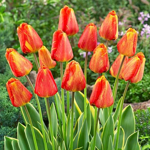 Tulipan Darwina Mystic Garant interface.image 1 interface.art 67773