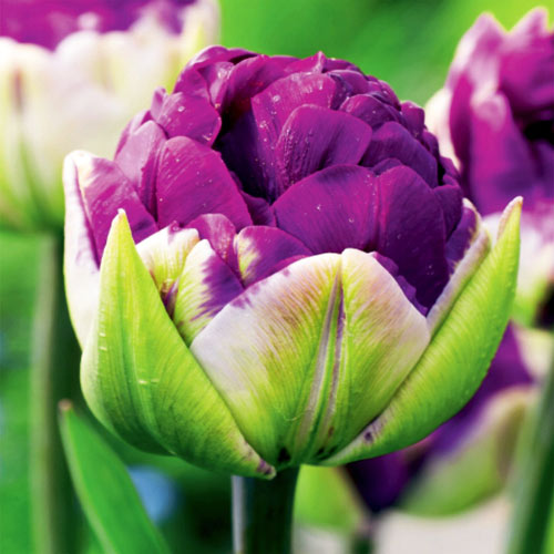 Tulipan pełny Negrita interface.image 1 interface.art 67779