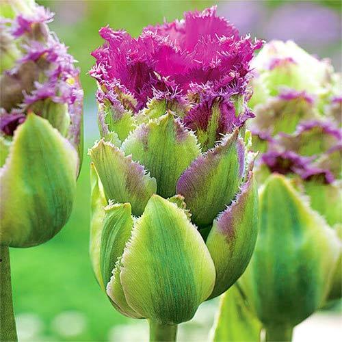 Tulipan pełny Purple Tower interface.image 1 interface.art 67793