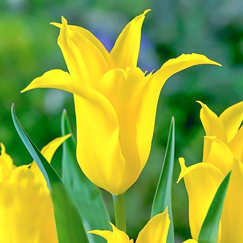 Tulipan Viridiflora Dancing Show interface.image 1 interface.art 67513