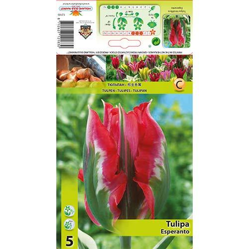 Tulipan Viridiflora Esperanto interface.image 1 interface.art 67869