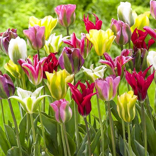 Tulipan Viridiflora, mix kolorów interface.image 1 interface.art 67871