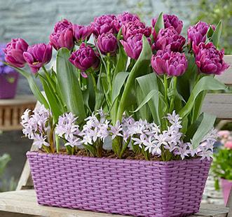 Cebulki kwiatowe Best Buy Capperline