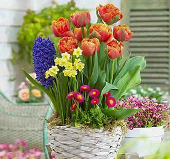 Cebulki kwiatowe Global Capperline