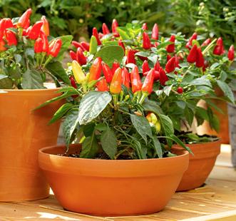 Nasiona Domowy ogród