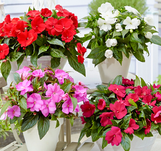 Nasiona kwiatów doniczkowych