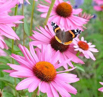 Nasiona kwiatów wieloletnich