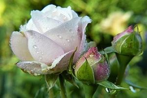 dlaczego-roze-nie-pachna