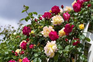 roze-ktore-kwitna-kilka-razy-w-roku