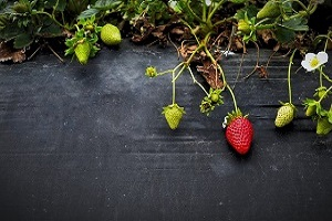 dlaczego-truskawka-uczula