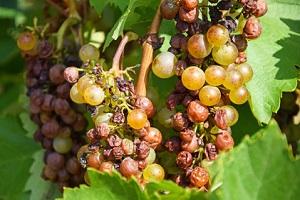 Dlaczego gniją winogrona