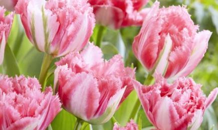Tulipan strzępiasty   Dom i Sad